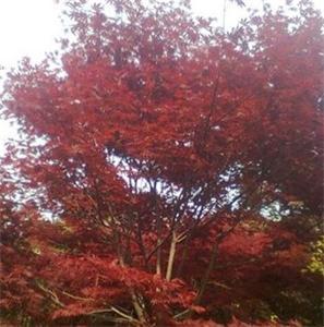 鸡爪槭地区
