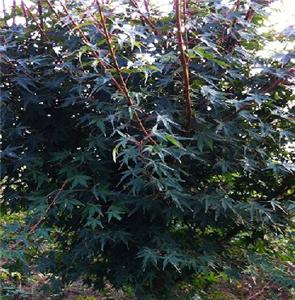 鸡爪槭幼苗