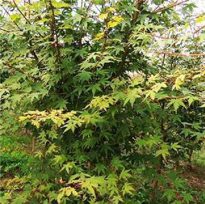 鸡爪槭苗木