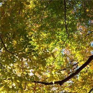 深秋的榉树