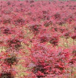 日本红枫苗木批发