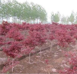 长期供应红枫苗木