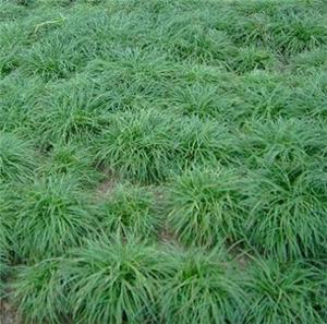玉龙草供应批发