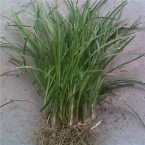 玉龙草种植
