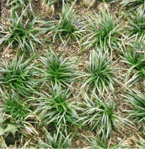 矮麦冬种植场