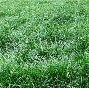 长期提供玉龙草