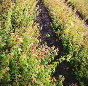 供应鸡爪槭种苗