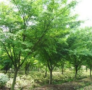 供应鸡爪槭苗木