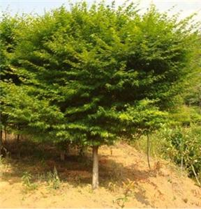 鸡爪槭成木