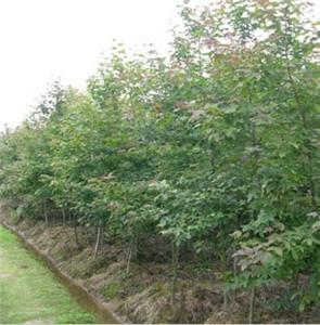 榉树种苗种植