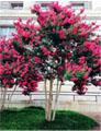 红火球紫薇在美国应用