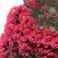 美国红叶紫薇