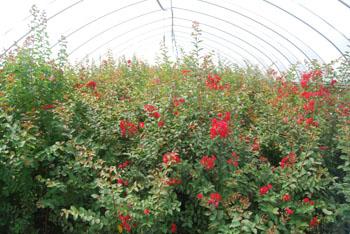 红叶红花紫薇价格