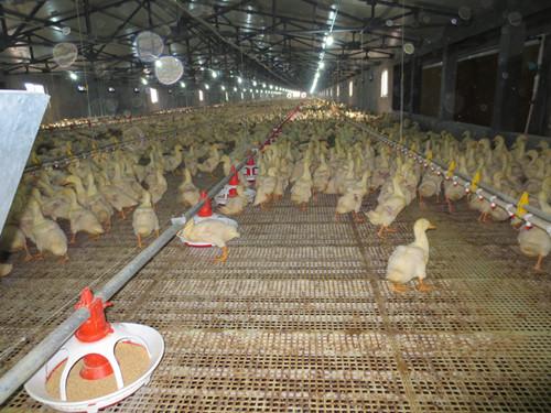 【优选】塑料漏粪地板在养猪行业中为什么被应用 <a href='/' target='_blank'>塑料漏粪板</a>的清洁过程