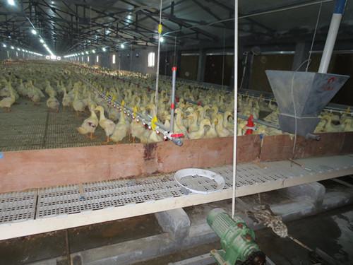 【组图】在鸡鸭养殖中塑料漏粪板有什么优点 塑料漏粪地板可使猪场避免潮湿