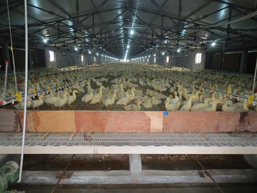 蛋鸭漏粪地板