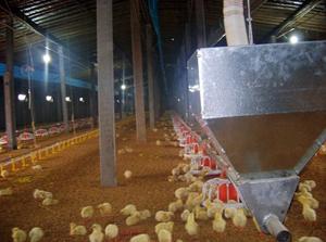 种鸡自动给料机