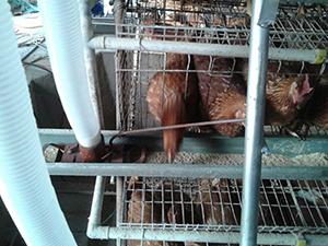 鸡饲料系列