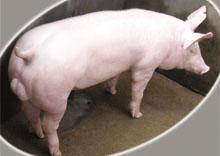 【知识】山东种猪春季养殖技巧 山东<a href='/supply/17.html' target='_blank'>种猪</a>的消化方式