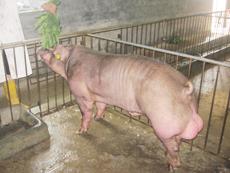 最新美系杜洛克种猪