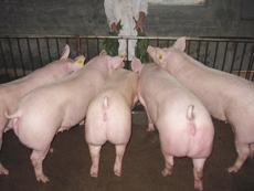 【资讯】山东种猪场科学设计分析 <a href='/' target='_blank'>山东种猪场</a>提高猪的体质的技巧