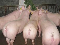 美系大白种猪