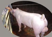新美系长白猪