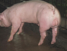 【专家】山东种猪春季科学养殖方案 让您了解<a href='/supply/15.html' target='_blank'>山东种猪</a>育种的技术方法