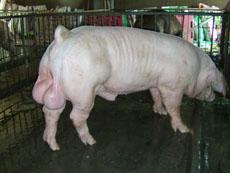 白色杜洛克种猪