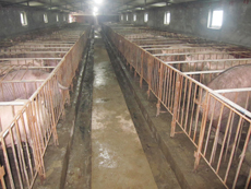 山东省种猪场