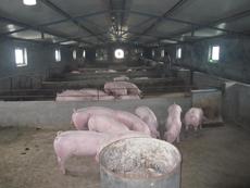【图文】山东种猪猪舍环境标准_山东种猪的消化方式