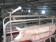 山东种猪场