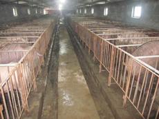 东方种猪场