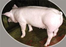 【经验】山东种猪场提高猪的体质的方法<a href='/' target='_blank'> 山东种猪</a>场挑选场地的方法