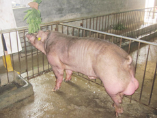 山东大型种猪场