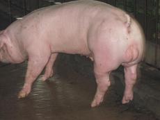 最新美系长白种猪