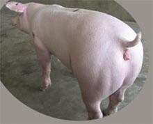 新美系长白种猪