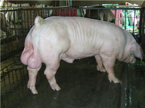 山东杜洛克公猪