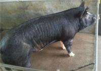 巴克夏公猪