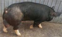 巴克夏种猪
