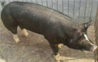 巴克夏母猪