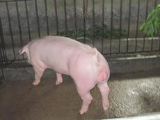 美系长白猪