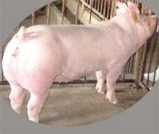 【专家】山东省种猪场如何选择种猪 <a href='/supply/16.html' target='_blank'>山东省种猪场</a>中皮特兰种猪的优点
