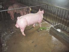 新美系大白母猪