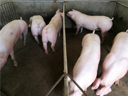 丹系大白母猪