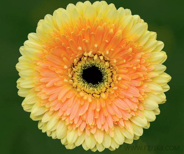 非洲菊的品种