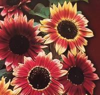 向日葵种子哪家好
