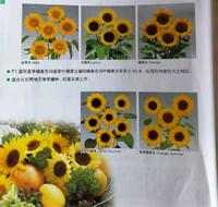 昆明向日葵种子