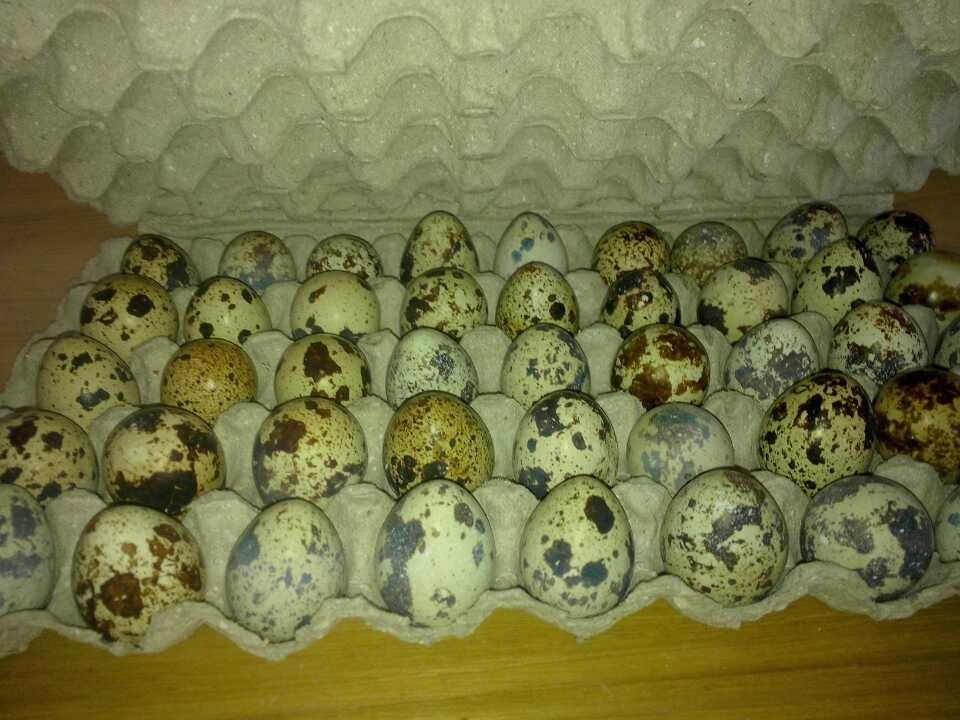 45枚鹌鹑蛋托